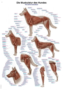 Chart The canine musculature, 70x100cm (VL110)
